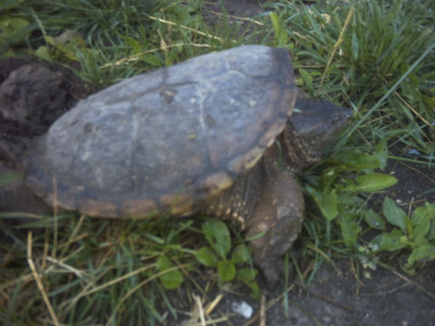 Snapping turtle laying eggs in our yard.