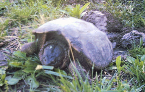 Snapping turtle laying eggs, from the front.